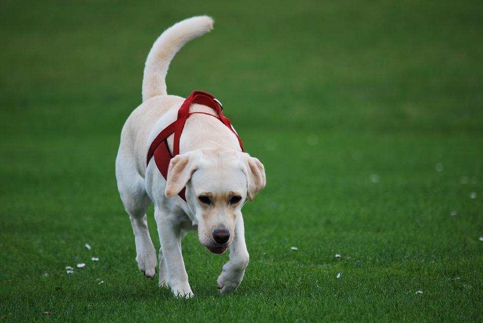 Labrador vereniging